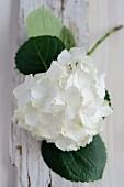 White hydrangea flower on weathered wooden board