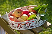Red apples in metal dish on garden chair
