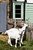 White goats in front of stable