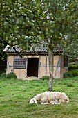 Sheep in front of stable in garden