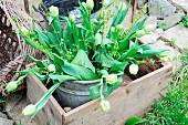 Bouquet of white tulips in zinc bucket & wooden crate in garden