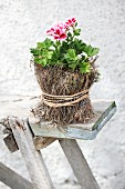 Red and white flowering scented pelargonium in small pot wrapped in dry moss and raffia on rustic wooden bench