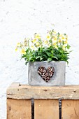Yellow horned violets in grey planter decorated with heart of coffee beans