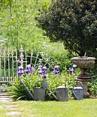Giesskannen vor Beet mit blauen Iris und anitkes Stein Pflanzengefäss im sonnenbeschienenen Garten