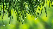 Water droplets on conifer (close-up)