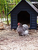Dark blue chicken coop with a chicken in front of it