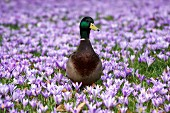 Mallard duck in field of flowering purple crocuses
