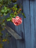 Climbing rose in front of blue-stained wooden fence