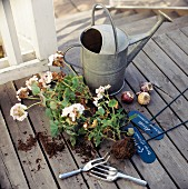 Geraniums with root balls and zinc watering can on wooden decking of veranda