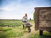 Junge Frau mit Schubkarre vor großem Gemüsefeld
