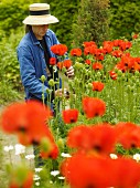 A gardener working with poppies