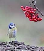 Blue tit sitting on tree trunk under twig of rowan berries