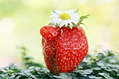 One strawberry with a daisy