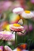 Butterfly on everlasting flower