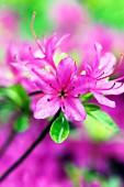 Lilac azalea flowers
