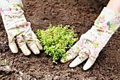 Thymian wird eingepflanzt