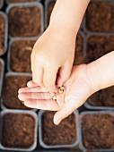 Samen werden eingepflanzt
