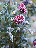 Flowering dahlias fringed with frost