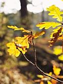 Verfärbte Eichenblätter am Baum