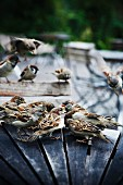 House sparrows on a table outdoors, Sweden.