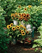 Bucket of sunflowers in domestic garden