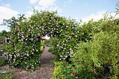 Garden path with wood chip mulch leading through flowering rose arch