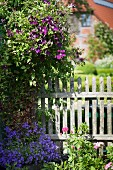 Violet flowers below flowering clematis on wooden fence with farmhouse in background