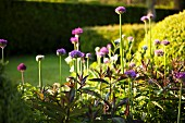 Flowering alliums in sunshine