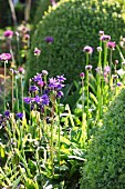 Flowering alliums and aquilegia in sunshine