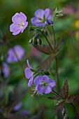 Delicate purple garden flowers