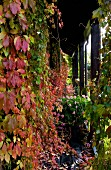 Narrow wooden veranda thickly covered in autumnal vine foliage
