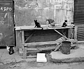 Cats sitting on table (B&W)