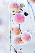 Mit Rauhreif überzogene Äpfel an einem Zweig