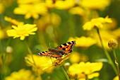 Butterfly on golden marguerite