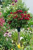 Rot blühendes Rosenbäumchen