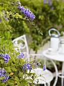 Blau blühende Gartenblumen; im Hintergrund weisse Gartenmöbel
