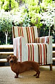 Dachshund in front of armchair with striped cover on terrace with view of sunny garden