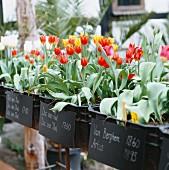 Tulips, Skane, Sweden.
