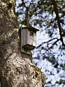 A nesting box in a pine tree, Sweden.