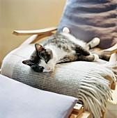 A cat resting in a chair, Skane, Sweden.