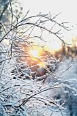 Schneebedeckte Zweige in der Wintersonne