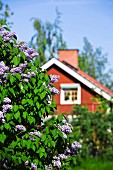 Red, Nordic wooden house with lilac bush in foreground