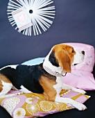 Dog lying on cushions