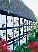 Many potted geraniums decorating outer wall of half-timbered house