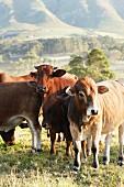 Kuhherde auf der Weide, im Hintergrund Berglandschaft