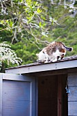 A Cat Drinking out of a Bowl on a Shed Roof