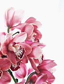 Sprig of pink flowering orchids