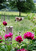 Pink peony in front of fence with cow in meadow beyond