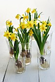 Flowering narcissus growing in glasses of water