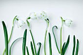 Snowdrops (Galanthus nivalis) against white background
